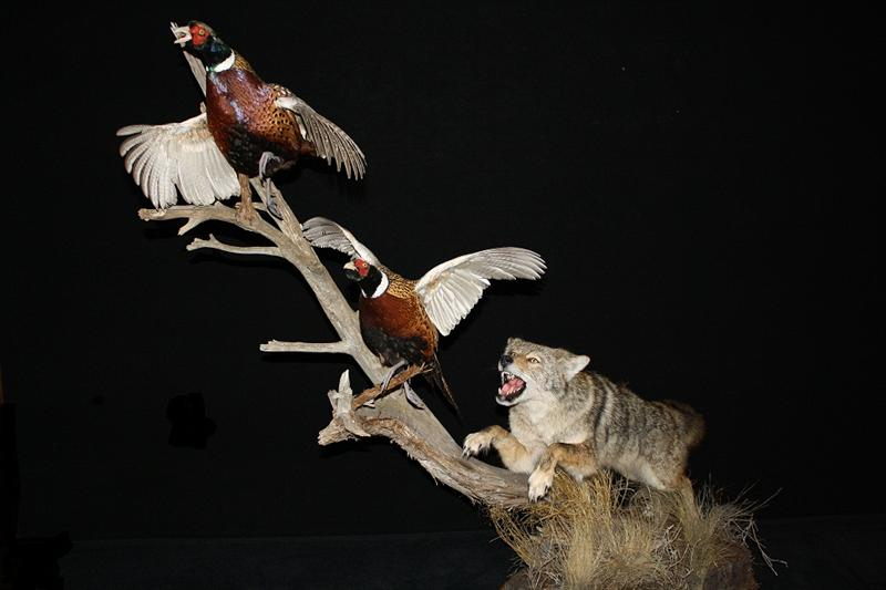 Coyote with Pheasants