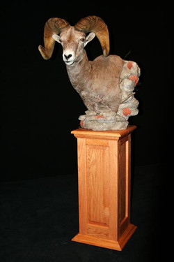Sheep Big Horn Pedestal Mt