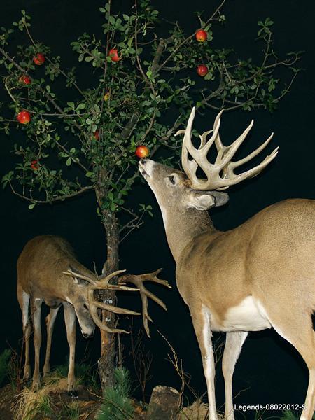 Deer Whitetail LS 2