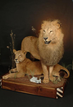 LION AND LIONESS 2