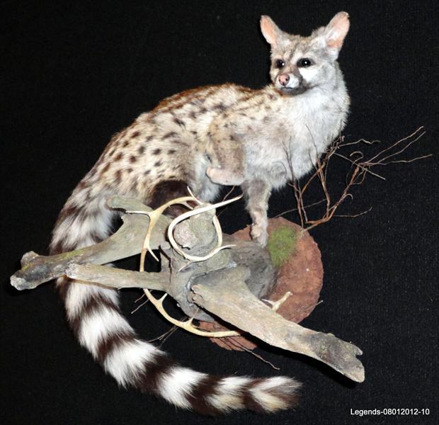 Genet Cat 3