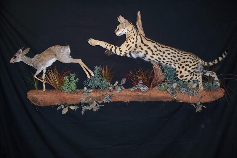 Serval Cat and Dik Dik