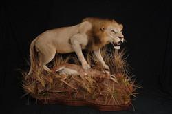 Lion 3 (1)