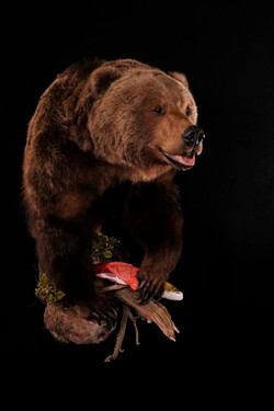 Bear Brown Half Lifesize Mount