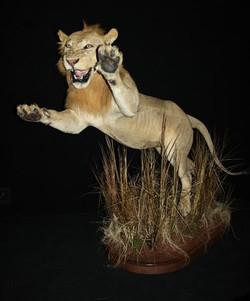 Lion Springing