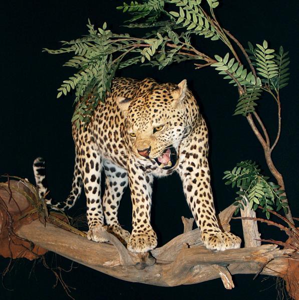 Leopard Walton 003