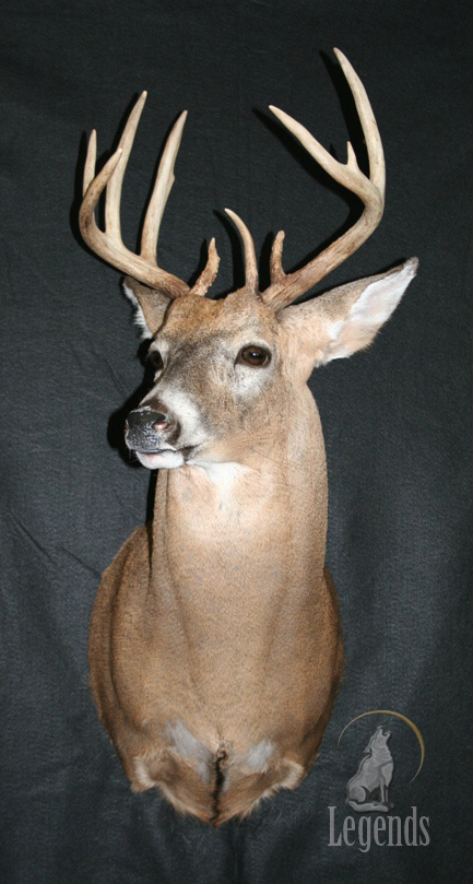4 - Upright Whitetail