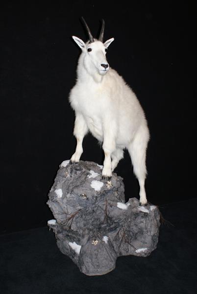 Mt Goat 7_ Dale Budzon