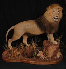 Lion 10