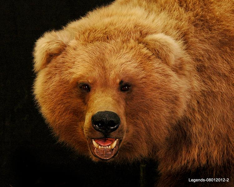 Bear Grizzly Face