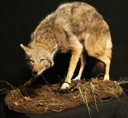 Coyote in Steel Trap