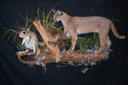 Caracal and Springhare