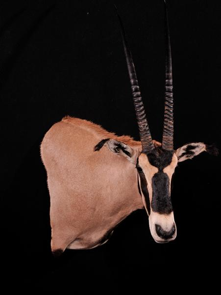 Oryx Fringed Ear