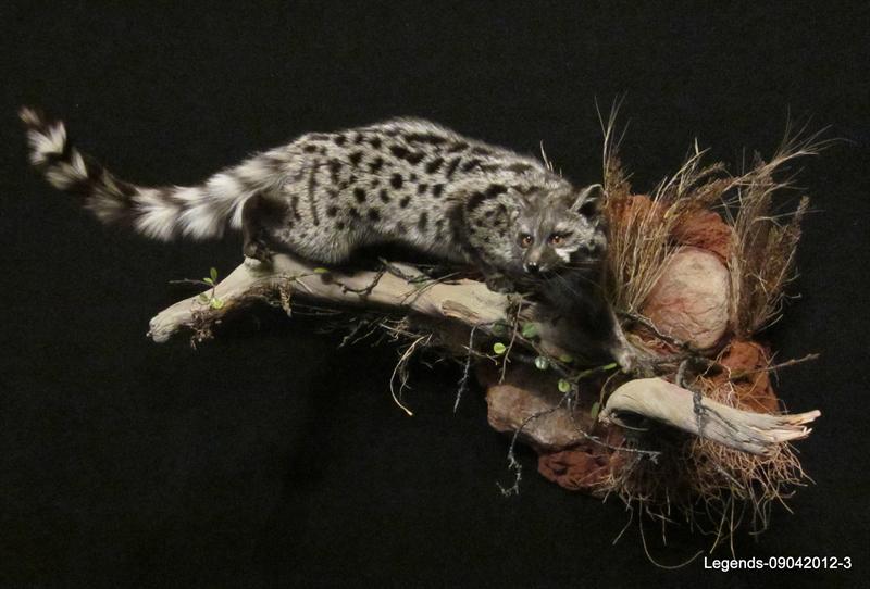 Genet Cat 4