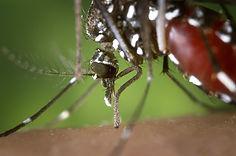 female mosquito-1301764_640.jpg