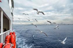 Marmara Ferry Seagulls 8079