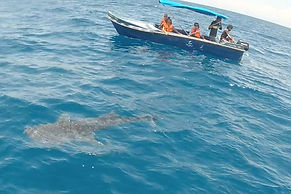 Whale shark watching Kalpitiya