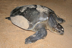 Nesting Olive Ridley turtle, Kumana
