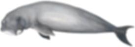 Dugong (sea cow), Dugong dugon