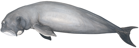 Dugong (sea cow), Dugong dugon