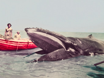 New Humpback Whale Subspecies Revealed by Genetic Study