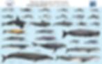 Marine Mammals of Sri Lanka poster