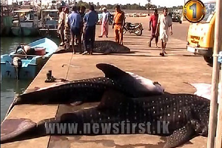 Whale sharks caught by fishermen Ampara Sri Lanka