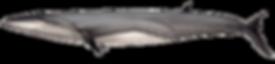 Bryde's whale, Balaenoptera brydei