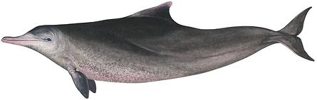 Humpback dolphin, Sousa plumbea