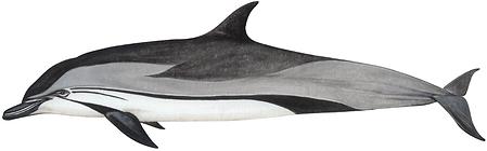 Striped dolphin, Stenella coeruleoalba
