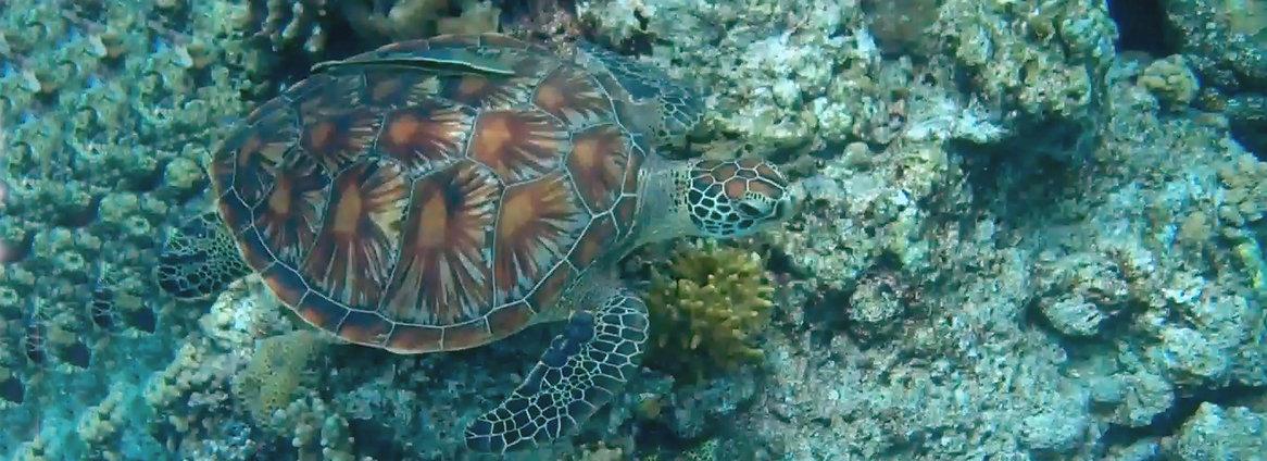 Hawksbill Turtle Sri Lanka