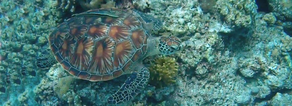 Hawksbill turtle header.jpg