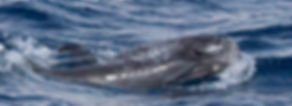 Risso's dolphin Bottlenose dolphin association