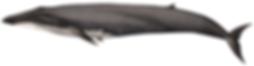 Blue whale, Balaenoptera musculus
