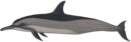Spinner dolphin, Stenella longirostris