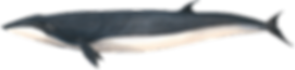 Eden's whale, Balaenoptera edeni