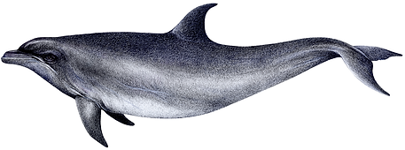 Common bottlenose dolphin, Tursiops truncatus