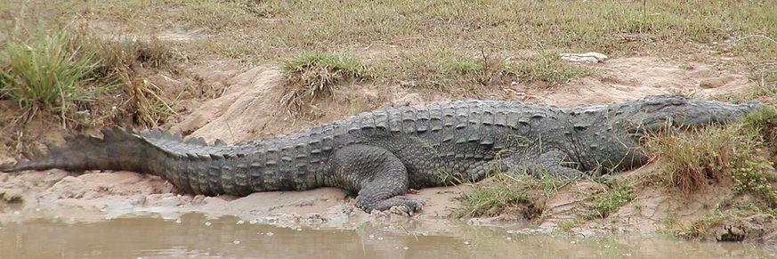 Marsh mugger crocodile Yala Sri Lanka Amazing Maritime