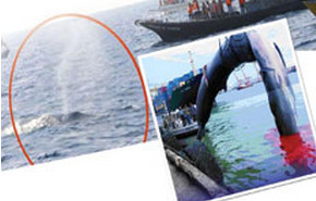 Tour Operators Call for Responsible Whale Watching