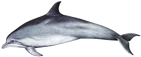 Indian Ocean bottlenose dolphin, Tursiops aduncus
