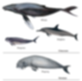 Marine Mammals of Sri Lanka