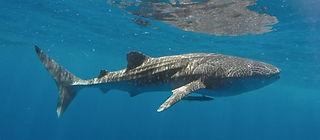 Whale shark Kalpitiya Sri Lanka