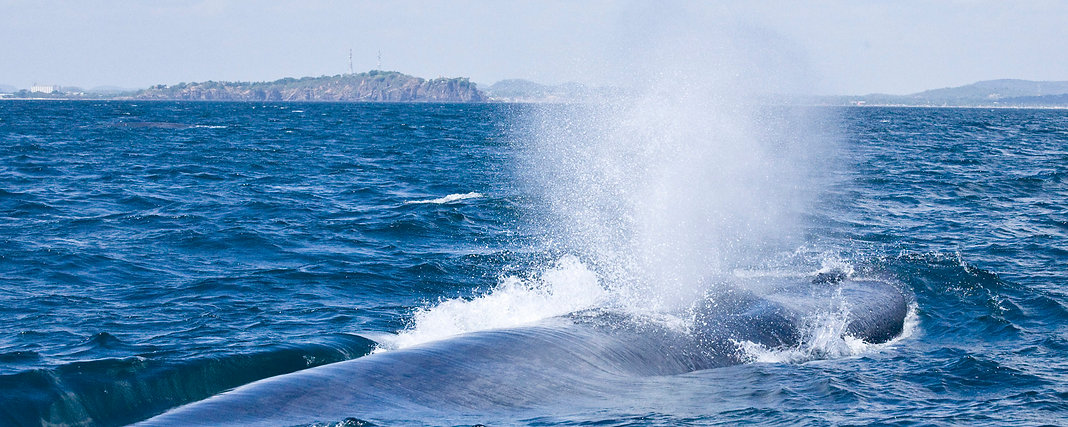 Blue whale Swami Rock Trincomalee