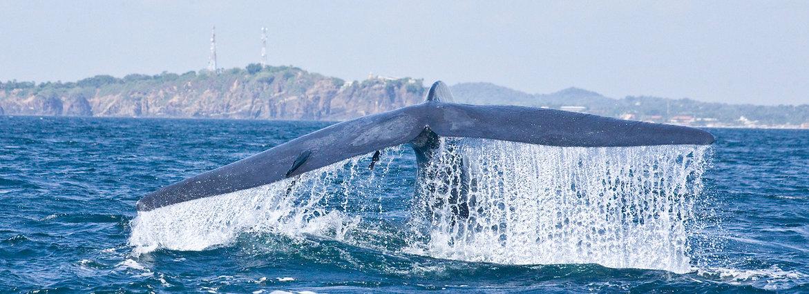 Spinner dolphin superpod Kalpitiya