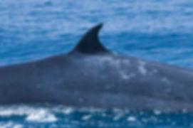 Eden's whale dorsal fin © Howard Martenstyn slam.lk