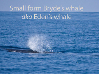 Exciting discovery of new whale in Sri  Lankan waters!