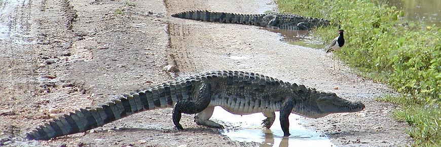 Esturine saltwater crocodile Yala Sri Lanka Amazing Maritime