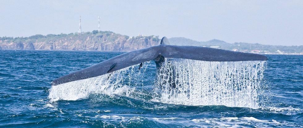 20121001_227 Blue whale.jpg
