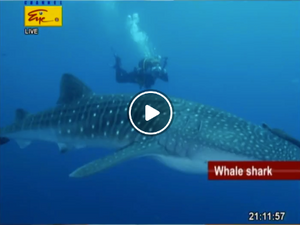 Whale shark protected in Sri Lanka