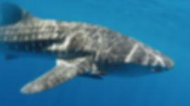 Whale shark Kalpitiya